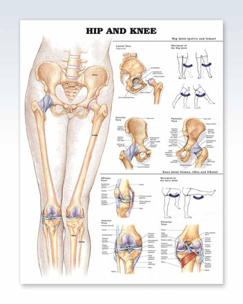 Hip and Knee anatomy poster