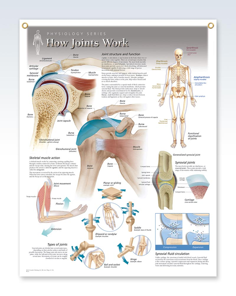 How Joints Work Anatomy Poster with 2 Grommets