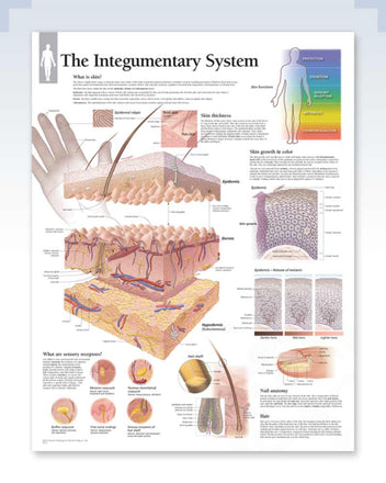 Integumentary System Anatomy Poster