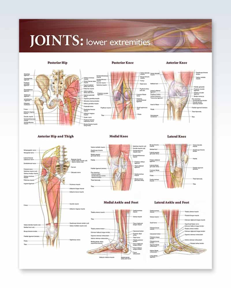 Joints Lower Extremities Exam Room Anatomy Poster Clinicalposters