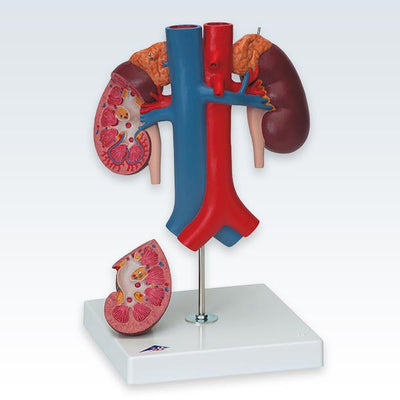 Kidneys Model