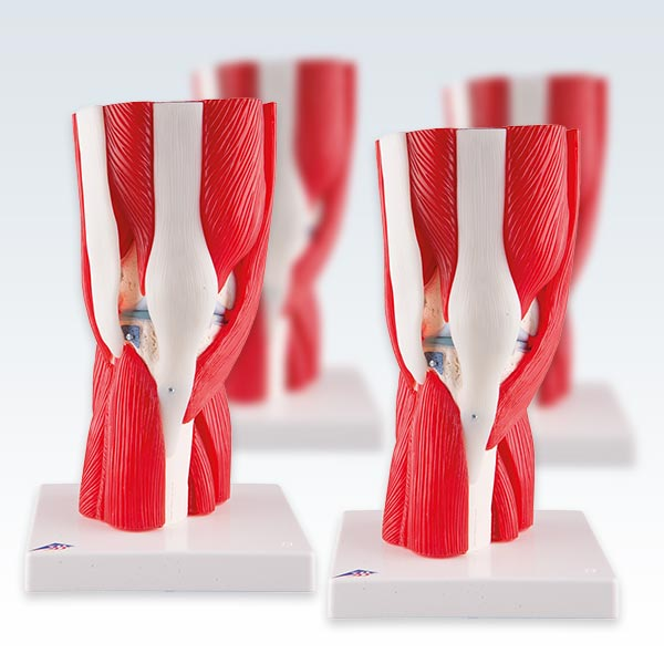 Knee Joint with Removable Muscles Four Models