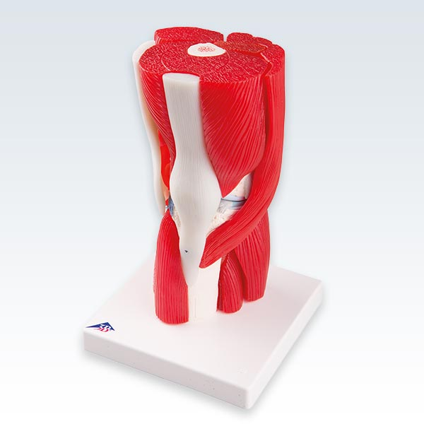 Knee Joint with Removable Muscles Front Model