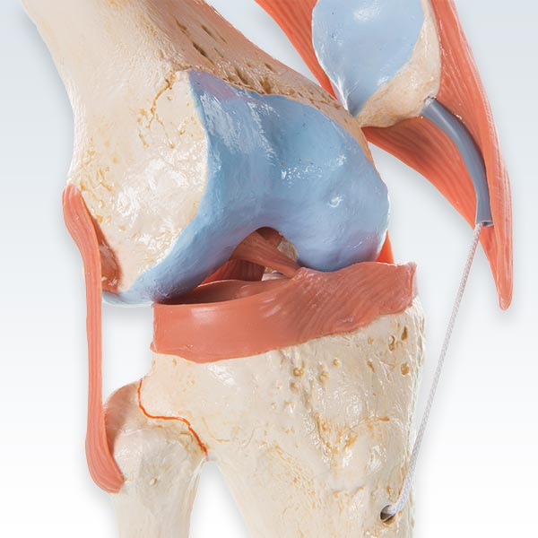 Deluxe Human Knee Joint Model Knee Detail