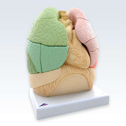 Segmented Lungs Model