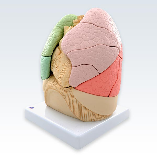 "Segmented Lungs Model <abbr title=""Side"">lateral</abbr>"