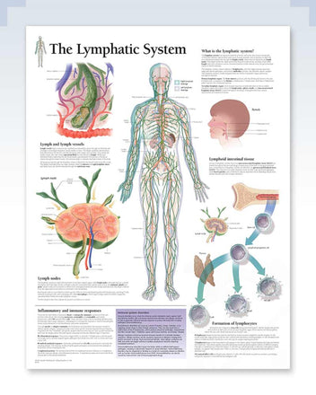 Lymphatic System Anatomy Poster