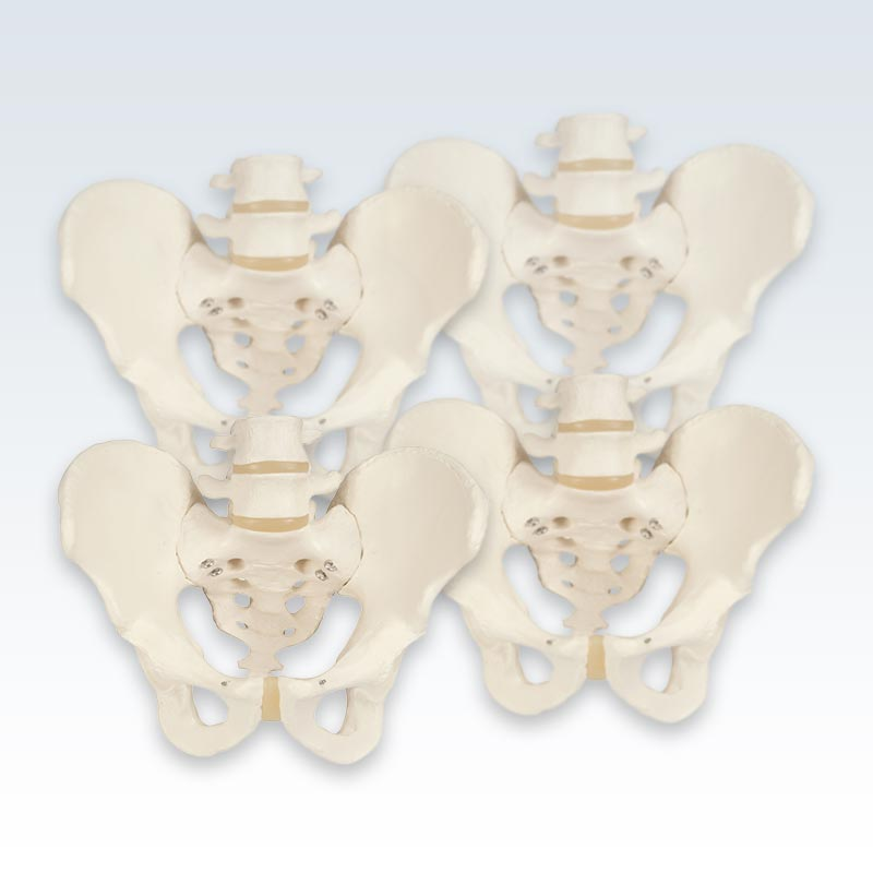 4 Male Pelvis Skeletons Set