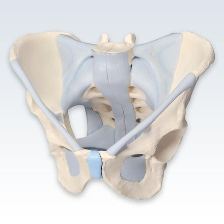 Male 2-Part Pelvis with Ligaments 3B Model