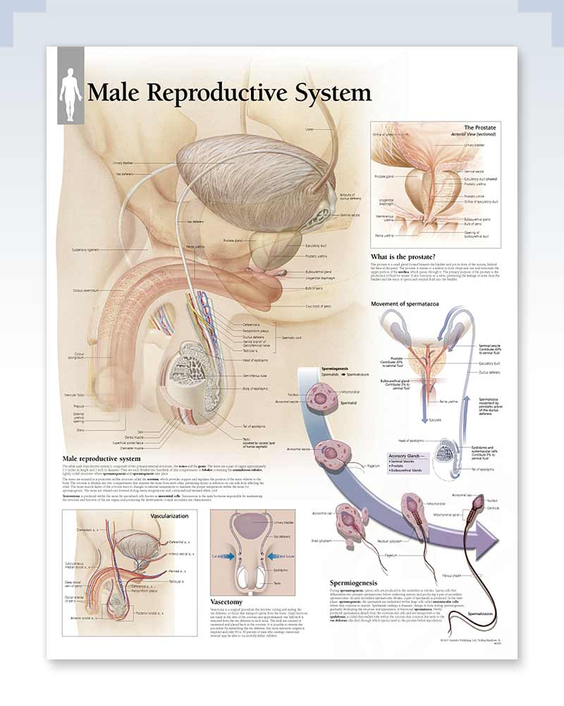 Male Reproductive System Exam-Room Anatomy Poster – ClinicalPosters