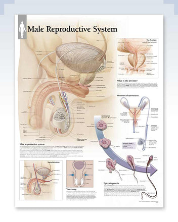 Male Reproductive System anatomy poster