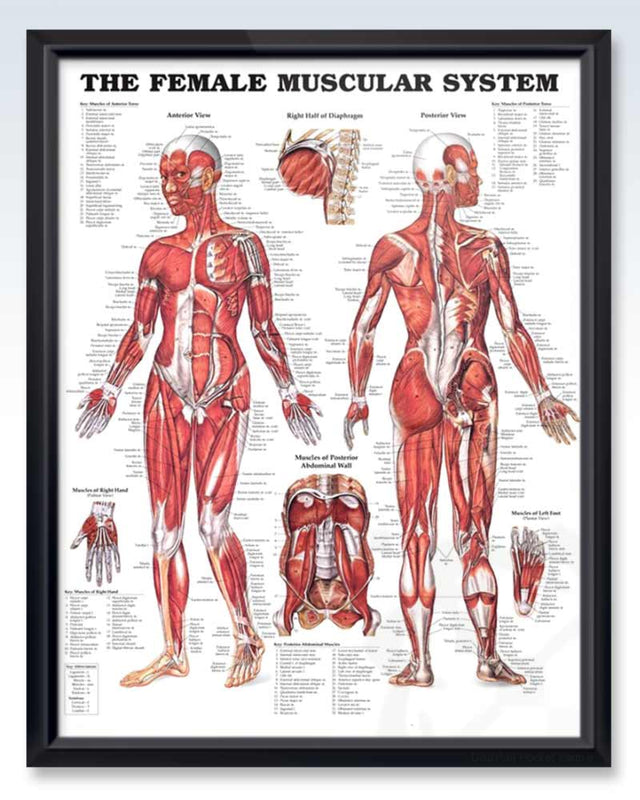 Female Muscular System Exam Room Anatomy Poster Clinicalposters