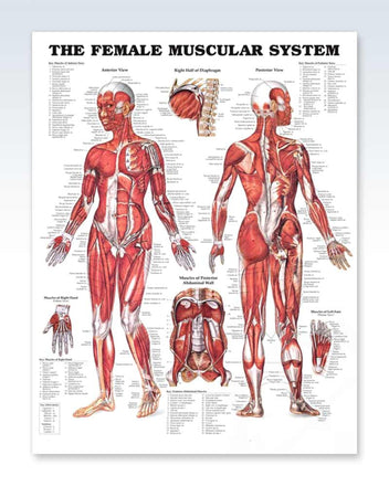 Female Muscular System anatomy poster