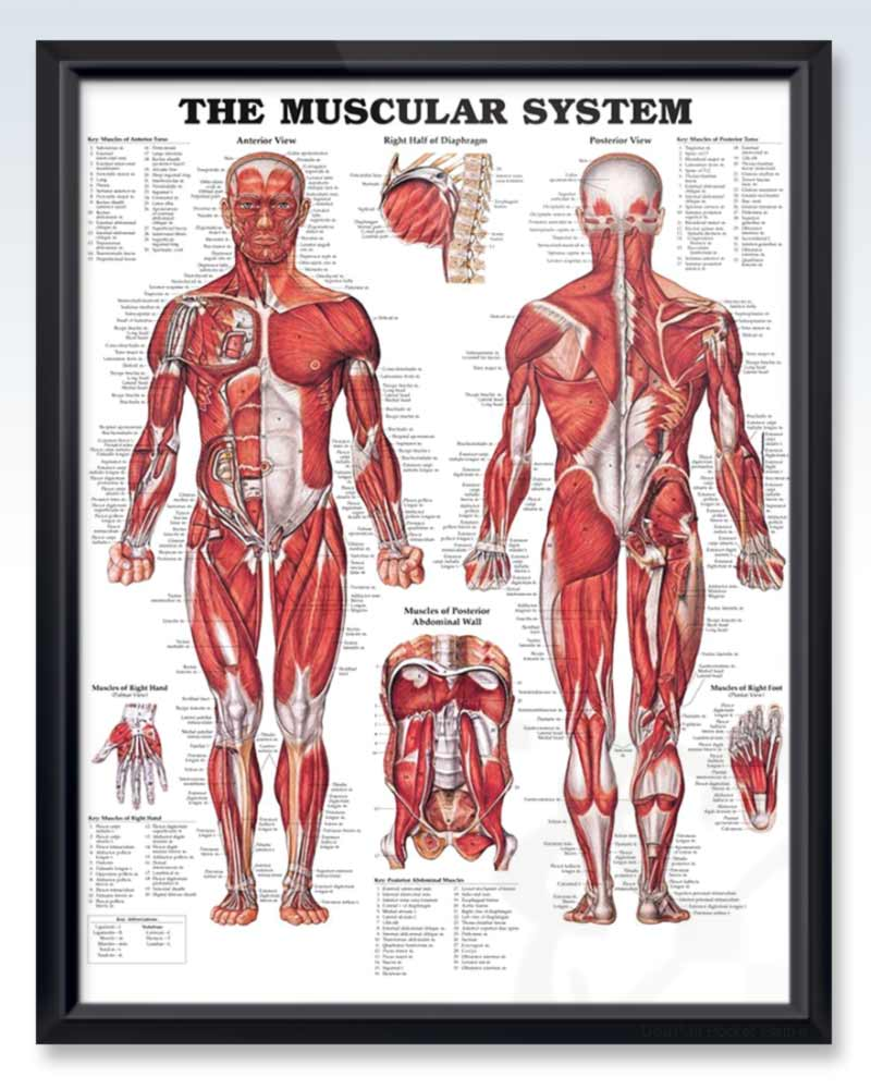 Muscular System Exam Room Anatomy Poster Clinicalposters