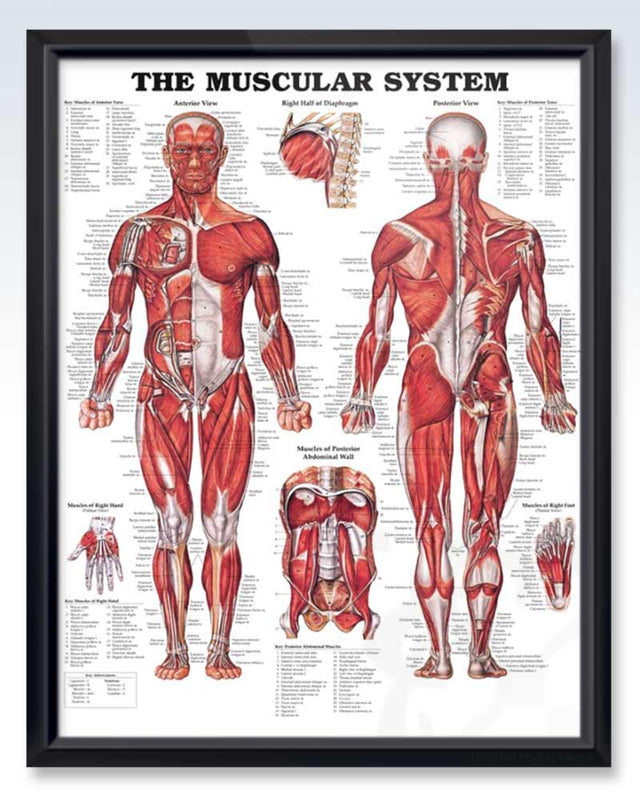 Muscular System Exam Room Anatomy Poster – ClinicalPosters