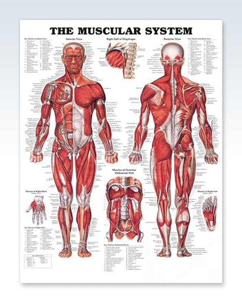 Muscular System anatomy poster