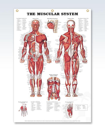 Muscular System enlarged poster 3 eyelets