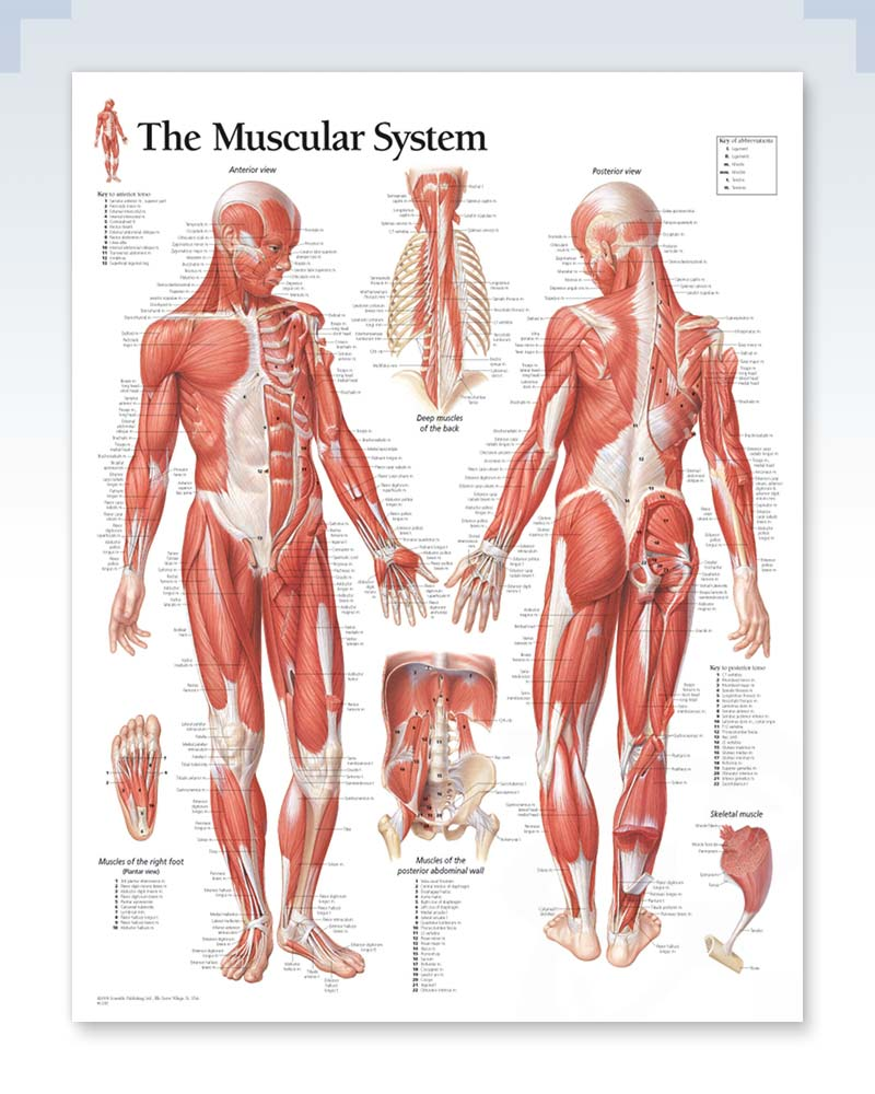 Male Muscular System Anatomy Poster
