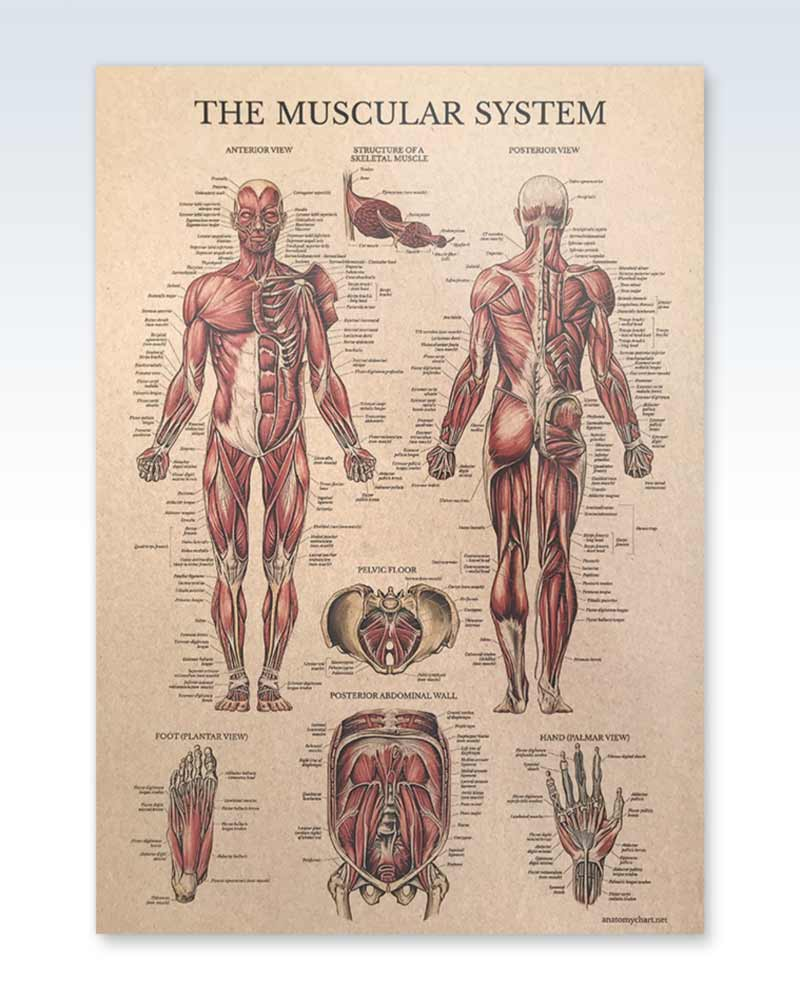 Laminated Muscular System Kraft Chart