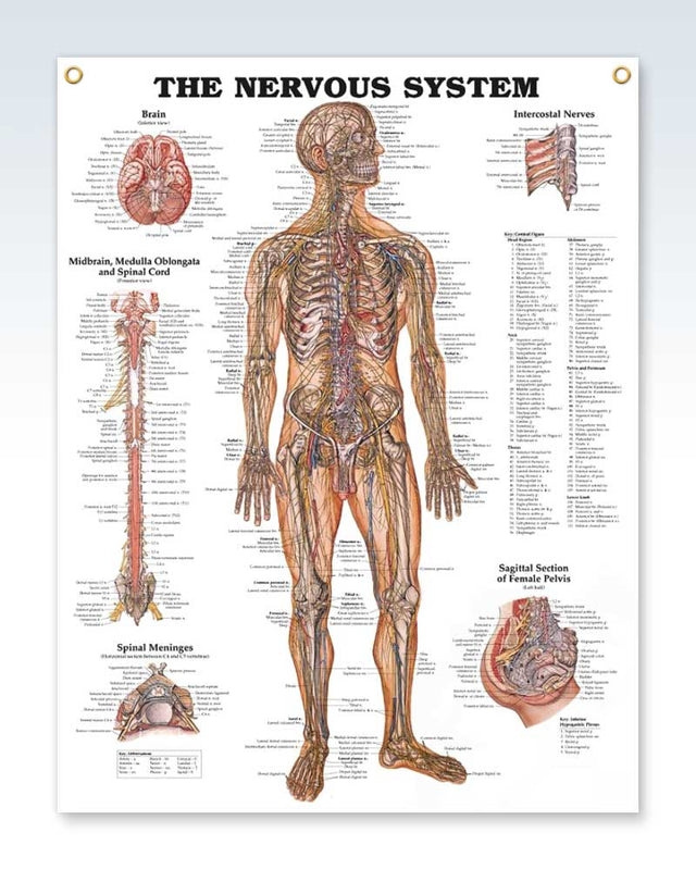 Nervous System Exam Room Anatomy Poster Clinicalposters