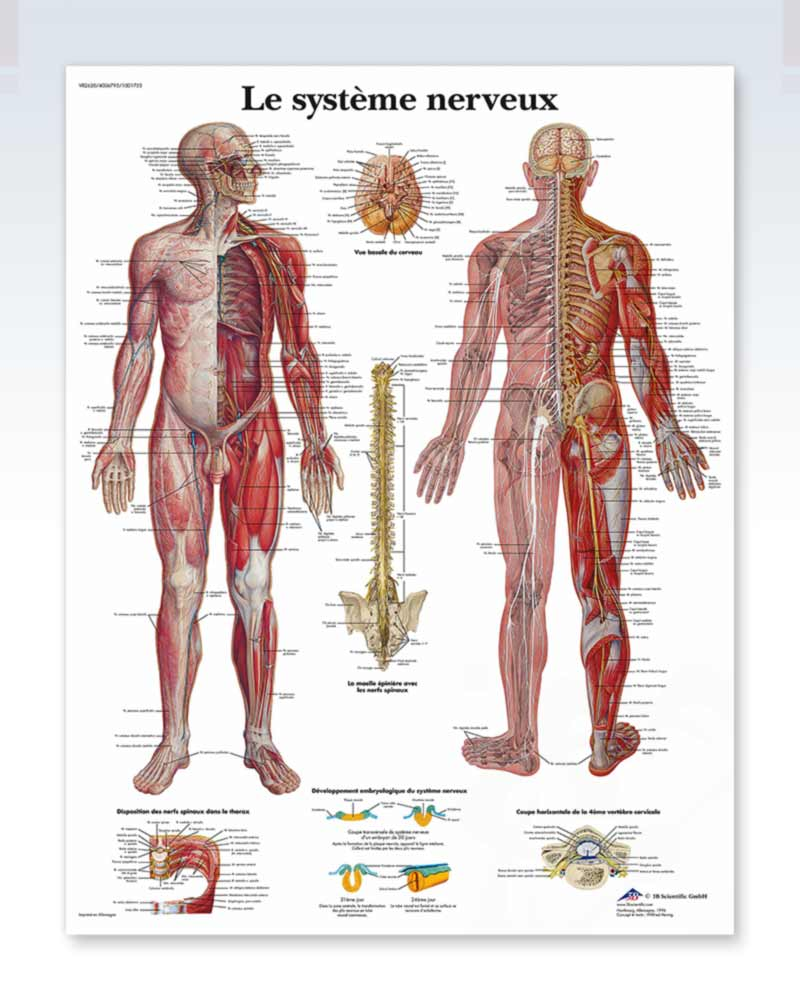 Nervous System (French) Exam Room Anatomy Poster – ClinicalPosters