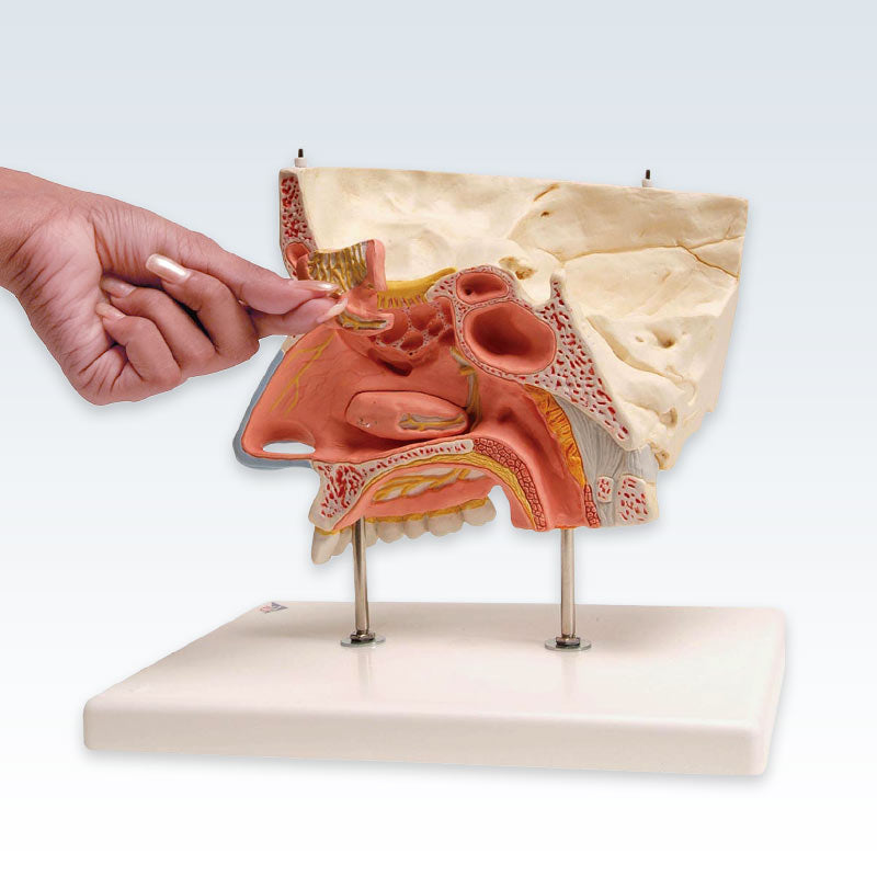 Human Nose With Paranasal Sinuses 5-Part Anatomical Model ...