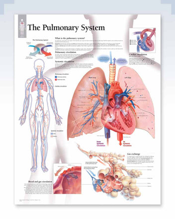 Pulmonary System Anatomy Poster