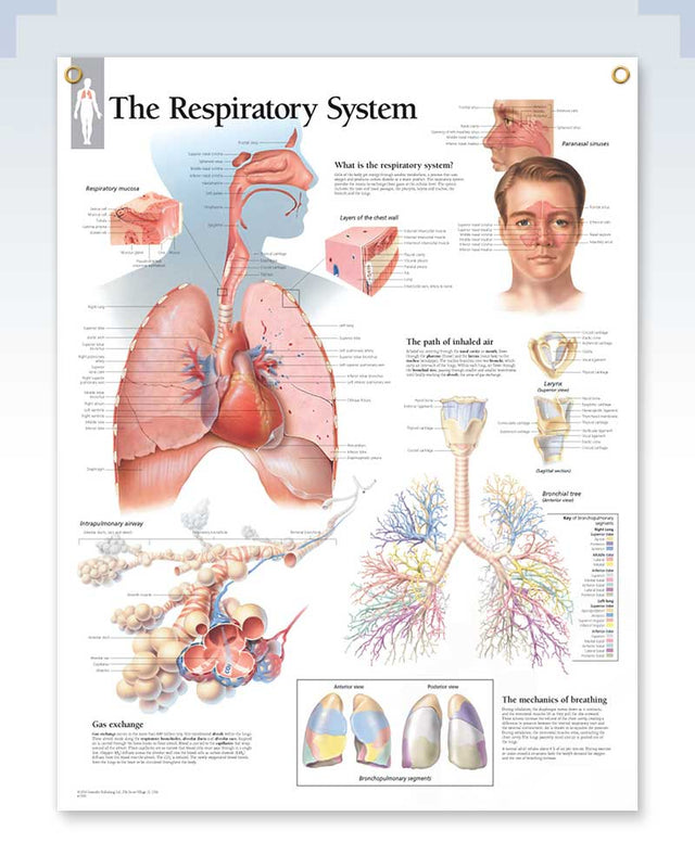Respiratory System Exam Room Anatomy Poster – ClinicalPosters