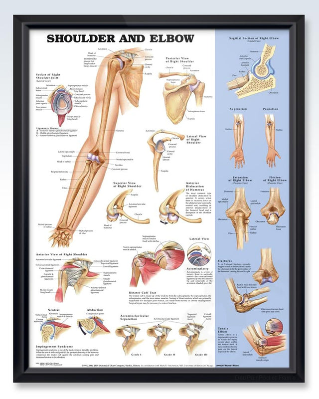 Shoulder And Elbow Exam Room Anatomy Poster Clinicalposters