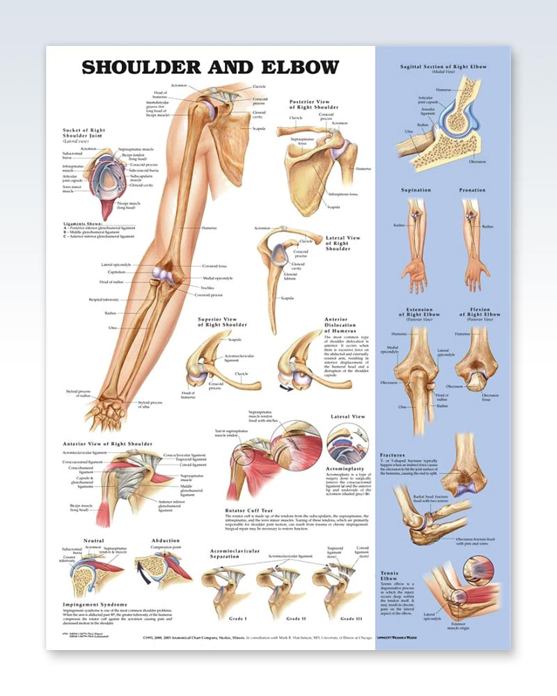 Shoulder and Elbow anatomy poster