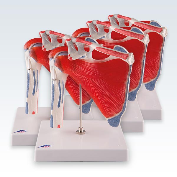 meta-4 Shoulder Joint with Rotator Cuff Models