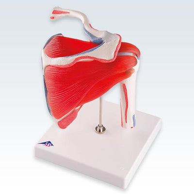 Shoulder Joint with Rotator Cuff Model