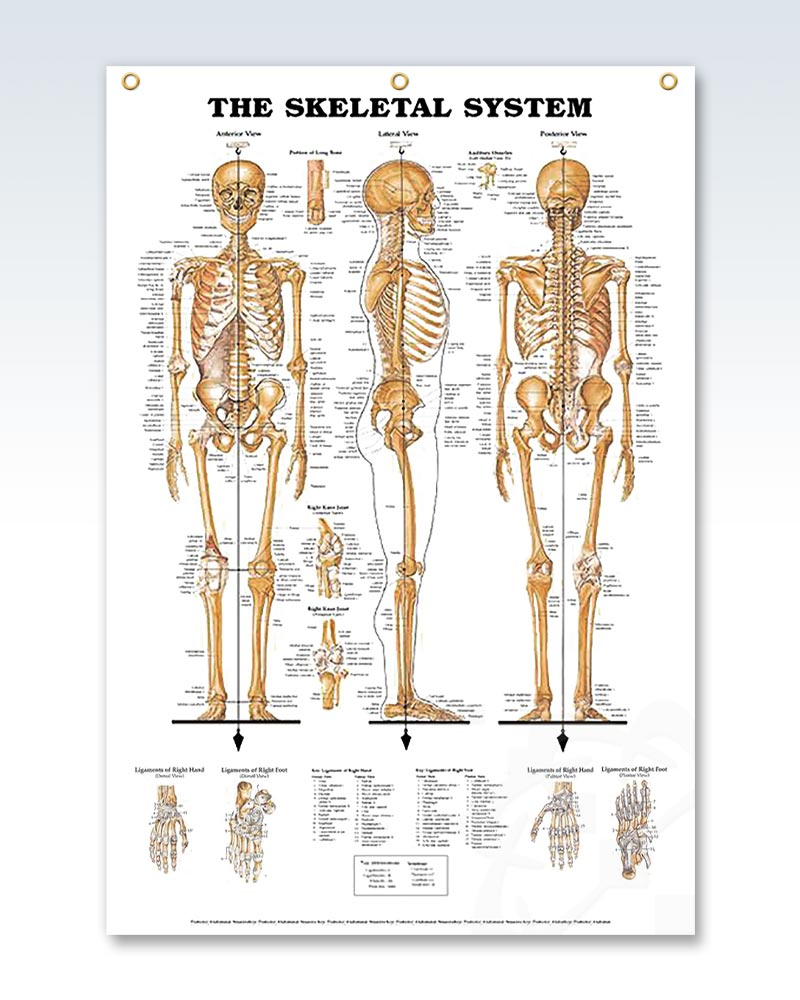 The Skeletal System enlarged poster 3 grommets