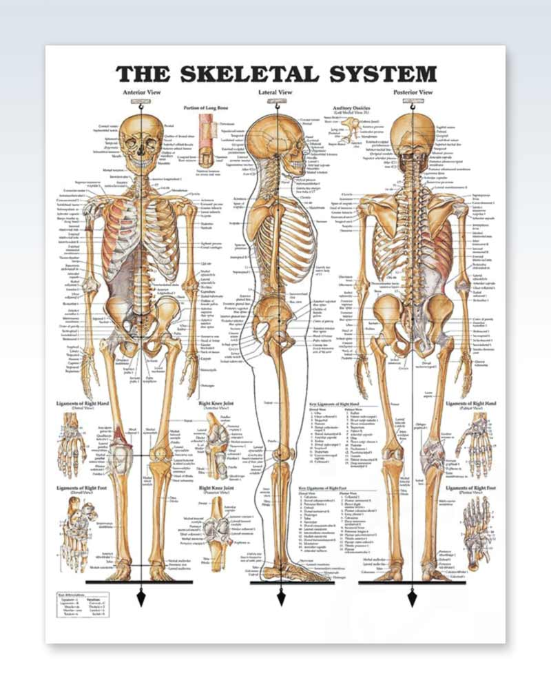 The Skeletal System anatomy poster