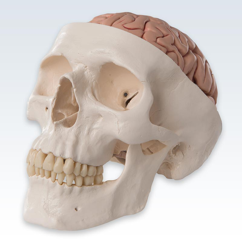 Classic Human Skull With Brain Model