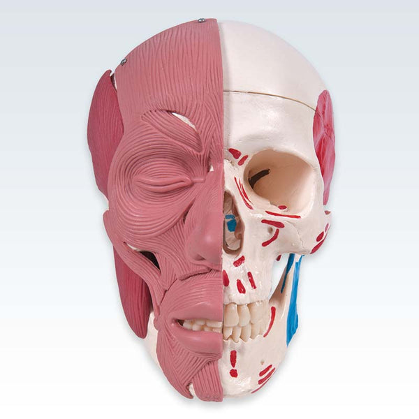 Skull with Facial Muscles Model Anterior