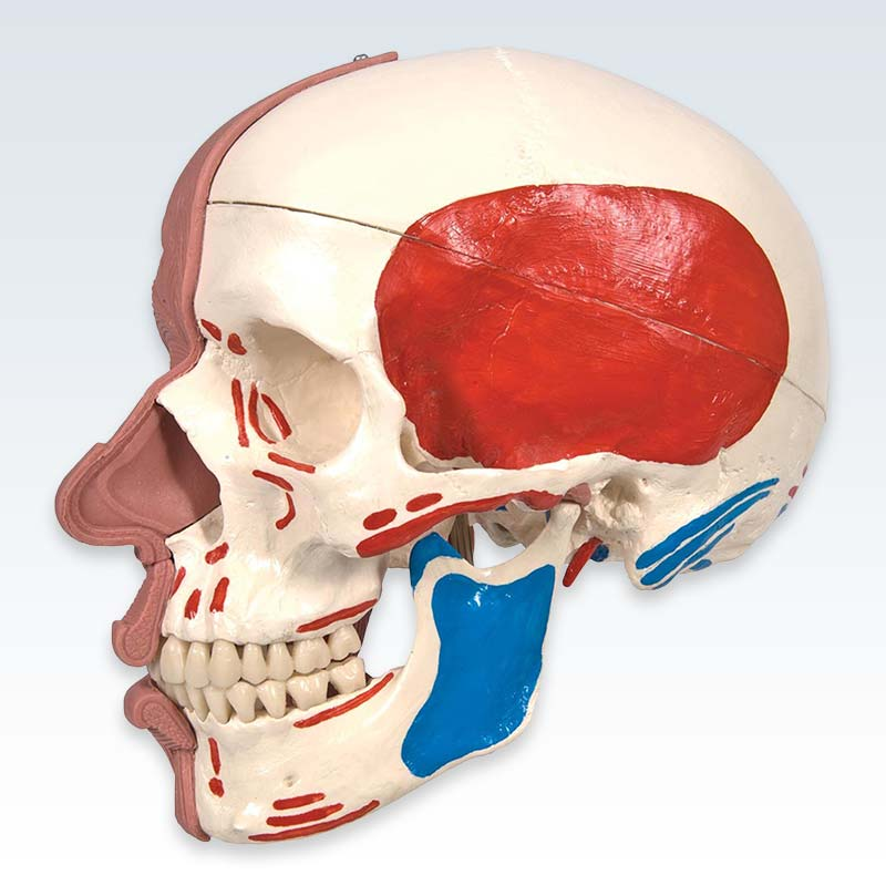 Skull with Facial Muscles Model Lateral