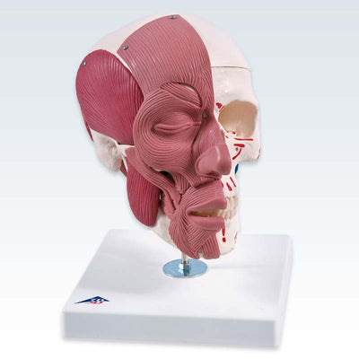 Skull with Facial Muscles Model