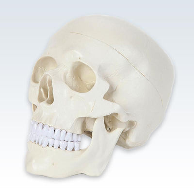 Life-Size Human Skull Model Quarter View