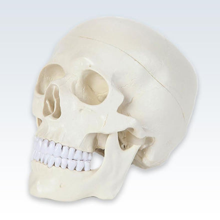 Entry-Level Human Skull Model 3/4 View