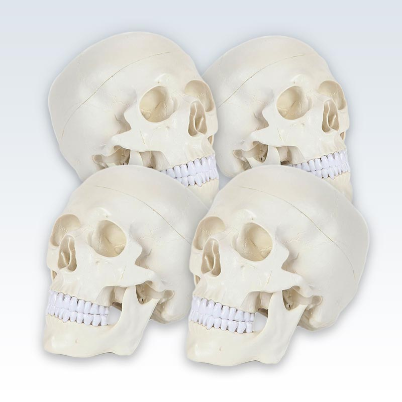 Life-Size Human Skull Model Set of 4