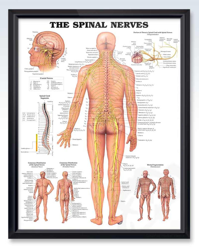 Spinal Nerves Diagram | Spinal Nerves Exam Room Anatomy Poster Clinicalposters