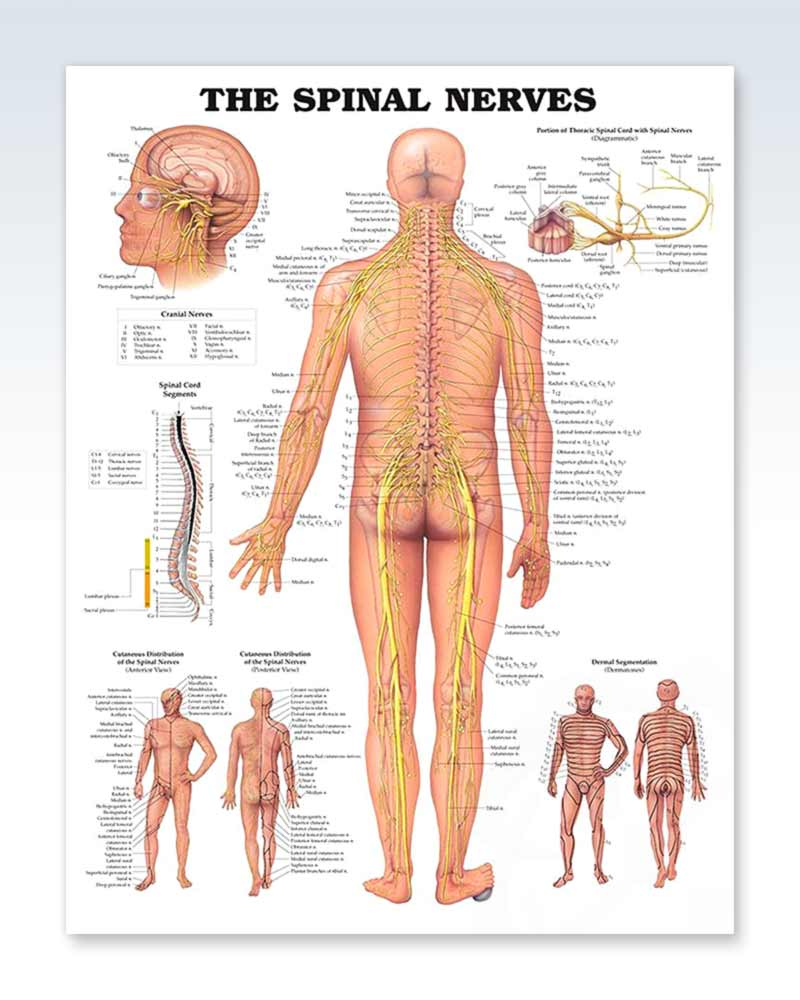 Spinal Nerves Exam Room Anatomy Poster Clinicalposters
