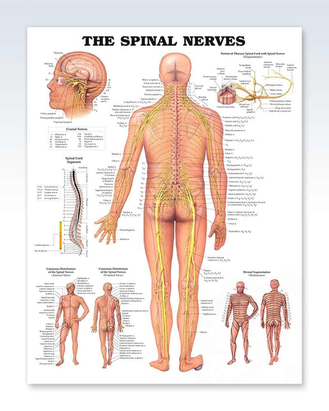 Spinal Nerves anatomy poster