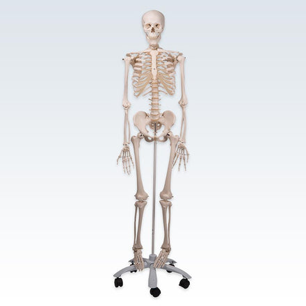 Stan Skeleton Model