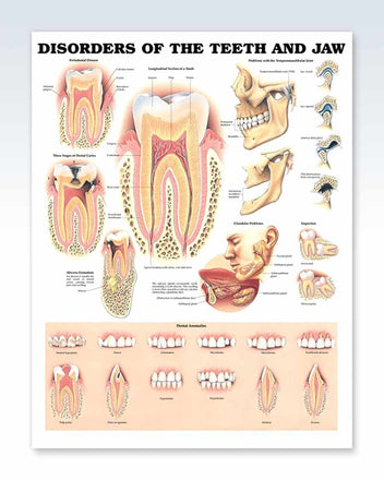 Teeth and Jaw anatomy poster