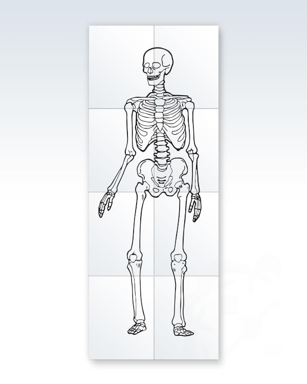 picture relating to Skeleton Printable referred to as Printable Kid-Sizing Skeleton 17x44 ClinicalPosters