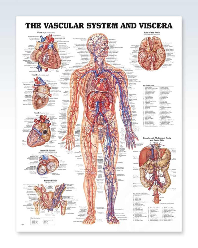 The Vascular System and Viscera Chart 20x26