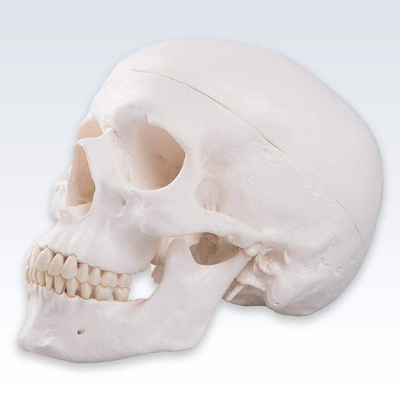 "Classic Human Skull <abbr title=""Side"">lateral</abbr> View"