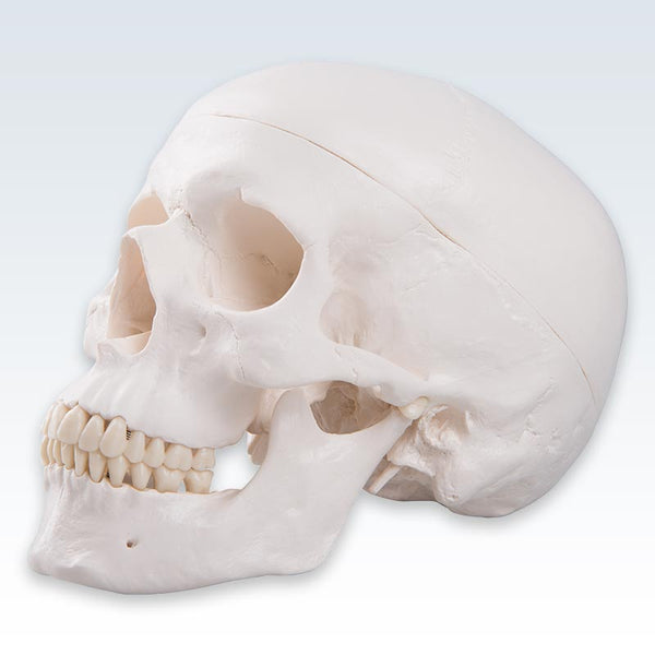 3-Part Human Skull Model Lateral